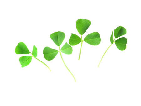 fresh, green clovers isolated on white background