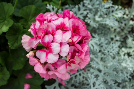 Pink flower bush in the garden beautifully stock photo picture and pink flower bush in the garden beautifully stock photo 59268454 mightylinksfo