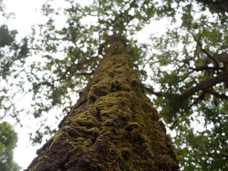 Grand arbre dans la jungle, couvert de mousse sur l'arbre. tirer du sol vers le haut.