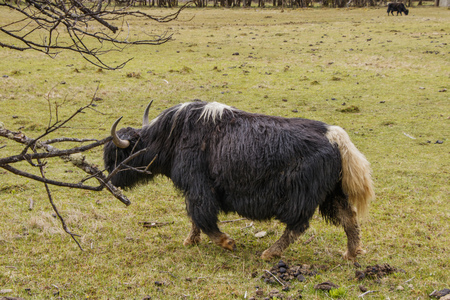Yak eating grass nature view in Pudacuo national park in Shangri La, Yunnan Province, China
