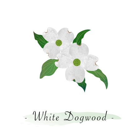 Colorful watercolor texture vector botanic garden flower white dogwood Cornus florida