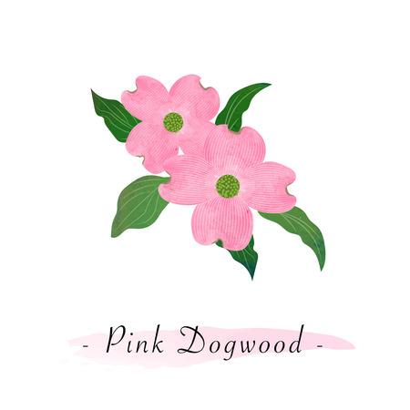 Colorful watercolor texture vector botanic garden flower pink dogwood Cornus florida Illustration