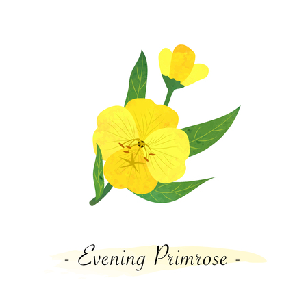 Colorful watercolor texture vector botanic garden flower yellow evening primrose Illustration