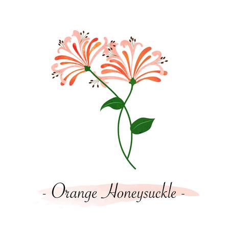 Colorful watercolor texture vector botanic garden flower orange honeysuckle Illustration