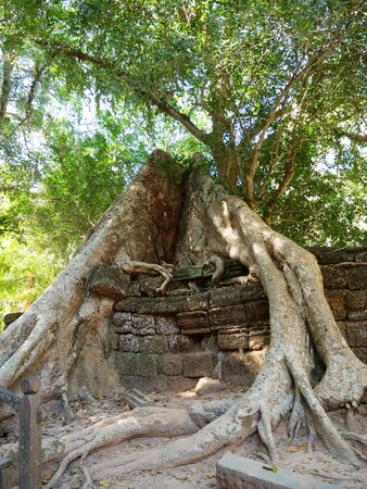 Tree root and stone rock wall at Ta Prohm Temple in Angkor wat complex, Siem Reap Cambodia.