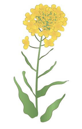 Japanese style vector yellow rape flower