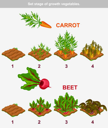 seed bed: Set stage of growth vegetables. Carrot and beet