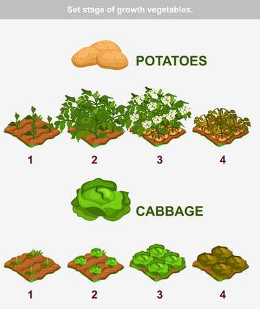 repollo: etapa de vegetales de crecimiento. La col y las patatas Vectores