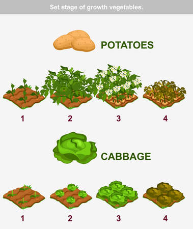 stage of growth vegetables. Cabbage and potatoes