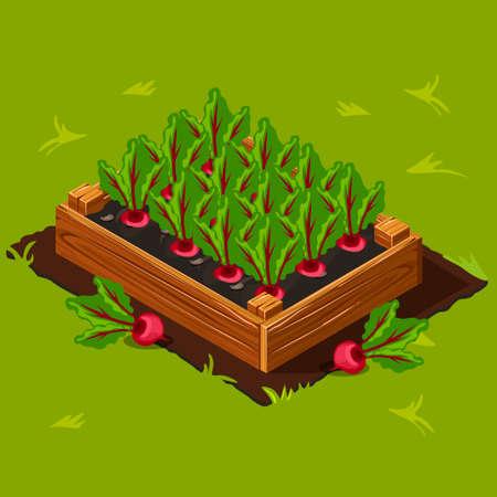 beet: Vegetable Garden Wooden Box with Beet.