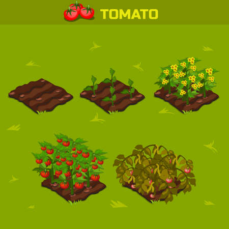 SET 1. Isometric Stage of growth vegetables. Tomato in vector for playing a perspective. game element