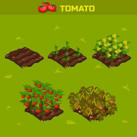 SET 1. Isometrische stadium van de groei groenten. Tomaat in vector voor het spelen van een perspectief. spelelement Vector Illustratie