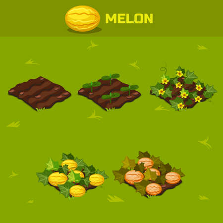 sapling: SET 6. Isometric Stage of growth vegetables. Melon in vector for playing a perspective. game element