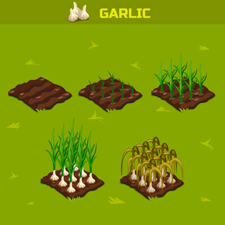 SET 7. Isometric Stage of growth vegetables. Garlic in vector for playing a perspective. game element