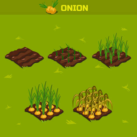 SET 8. Isometric Stage of growth vegetables. Onion in vector for playing a perspective. game element Illustration