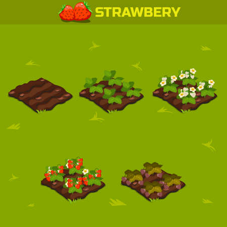 SET 13. Isometric Stage of growth berries. Red strawberry in vector Vectores