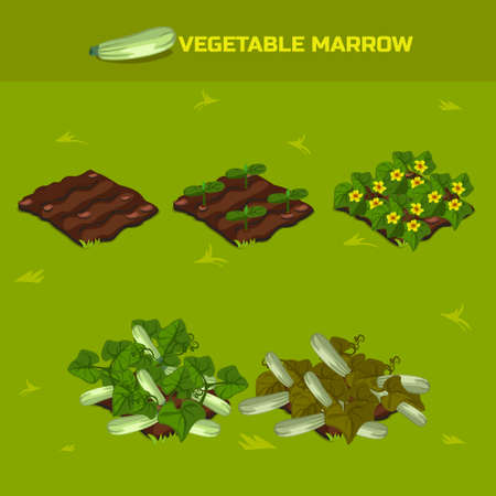 vegetable marrow: SET 3. Isometric Stage of growth vegetables. Vegetable marrow in vector for playing a perspective. game element