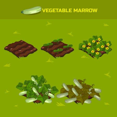 SET 3. isometrischen Phase des Wachstums Gemüse. Zucchini in Vektor für eine Perspektive zu spielen. Spielelement