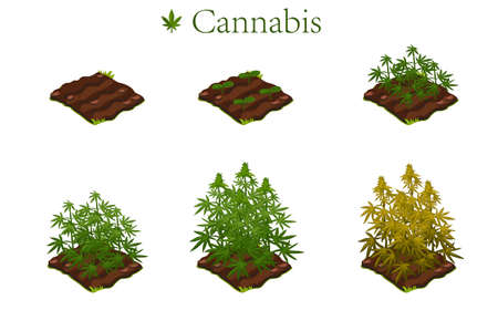 The cultivation of cannabis and marijuana in the stages of growth. Set of land with narcotic grass.