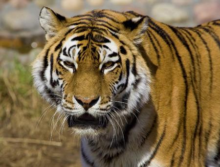 tigress: tiger