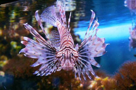 zebra lionfish: Red lionfish Stock Photo