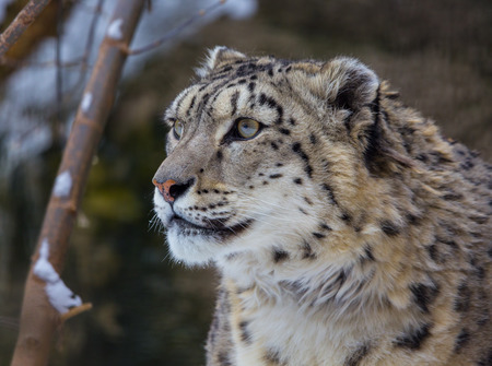 irbis: snow leopard, irbis Stock Photo
