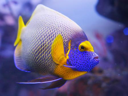 angelfish: Angelfish blue