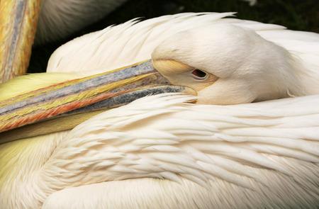 waiting posture: Pelican
