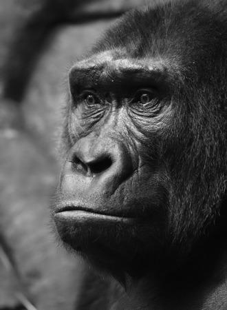 wrinkle: Pensive sad gorilla