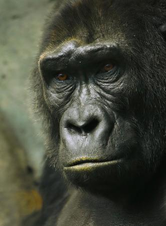 kin: Pensive sad gorilla