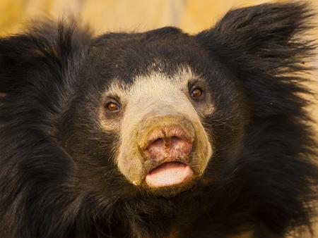 oso perezoso: oso perezoso Foto de archivo