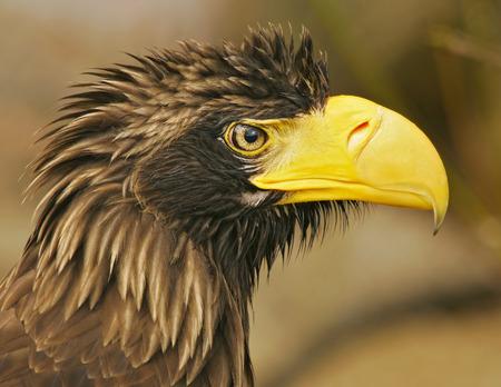 Steller´s sea-eagle (Haliaeetus pelagicus) Banco de Imagens