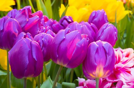 Tulip Zizanie