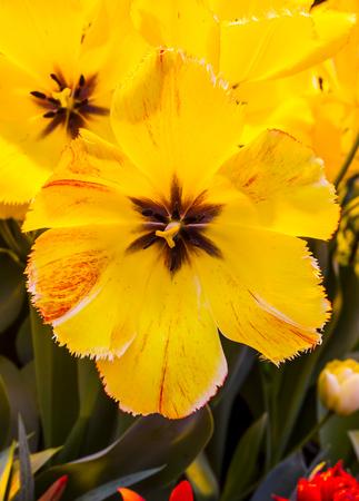 Yellow Tulip blossom Banco de Imagens