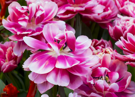 Tulip Mariette Banco de Imagens