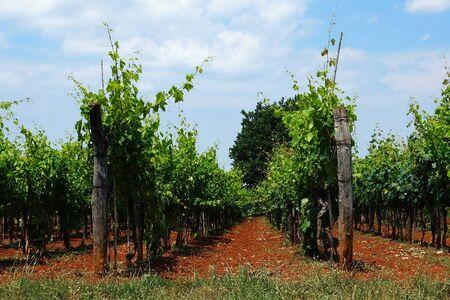 wine road: Vineyard Stock Photo
