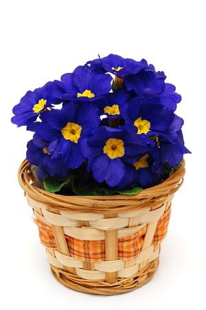 primulas: Beautiful blue primulas
