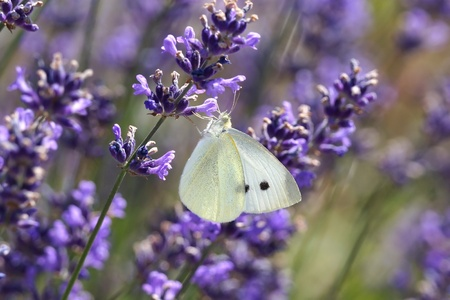 pieridae: White Butterfly on Lavender  lavendula