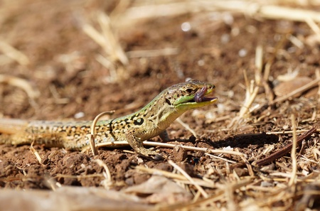lacertidae: Sand Lizard  Lacerta agilis   eating insect