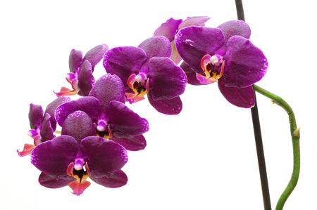 day spa decor beautiful pink orchid: day orchid decor