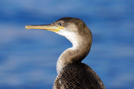 carbo: close up of Cormorant (Phalacrocorax carbo)
