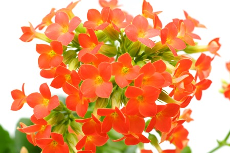 saxifragales: red  Kalanchoe flower isolated Stock Photo