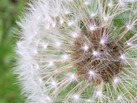 Dandelion seed Stockfoto
