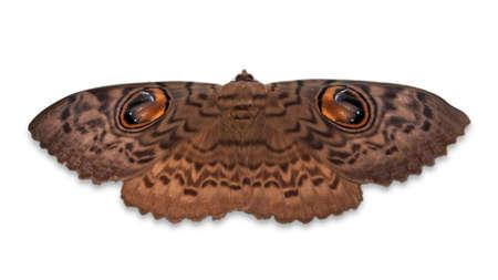 Owl Eye Moth Isolated on White
