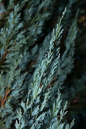 pine needles close up: Blue Cypress of the Cypress Family Cupressaceae 1