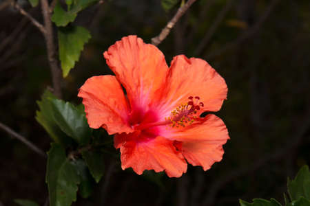 yellow stamens: Red Orange Hibiscus Isolated on Background