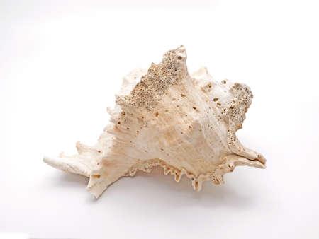 Seashell Ramose Murex Isolated on White Background