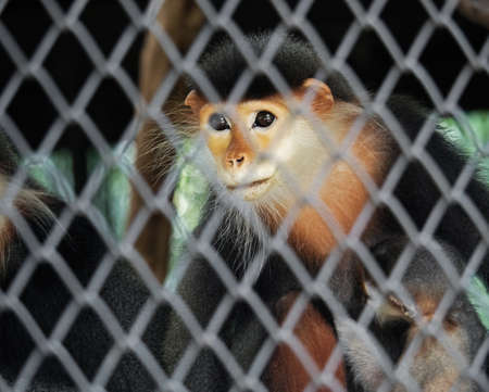 confined: Closeup Red-Shanked Douc with Baby in The Cage
