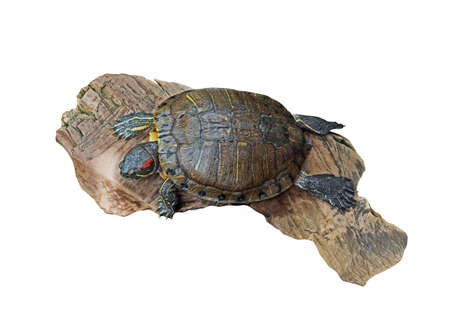Red Eared Slider Turtle on Old Wood Isolated on White, Clipping Path Stock Photo