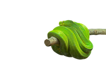 Green Tree Python Coiled Around a Branch Isolated on White Background, Clipping Path Stock Photo